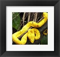 Framed Yellow Eyelash Viper