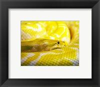Framed Yellow Python