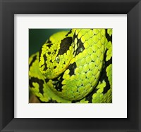 Framed Yellow Blotched Palm Viper