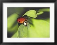 Framed Close-up of a ladybug on a leaf