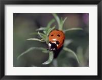 Framed Close-up of a ladybug on leaves