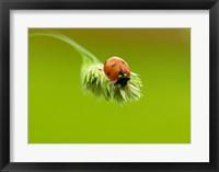 Framed Close-up of a ladybug on a flower
