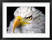 Framed Close-up of a Bald eagle (Haliaeetus leucocephalus)