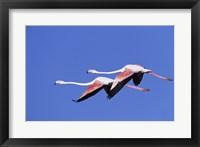 Framed Greater Flamingos
