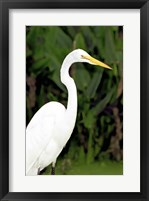 Framed Close-up of a Great Egret