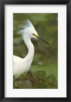 Framed Close-up of a Snowy Egret