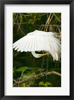 Framed Close-up of a Great White Egret