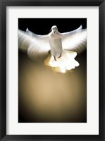 Framed White Dove in flight