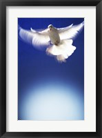 Framed White Dove in flight - blue
