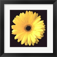 Framed Gerbera Diasy Yellow