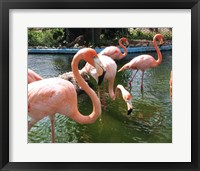 Framed Flamingos in a Zoo