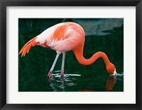 Framed Pink Flamingo In River