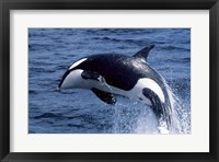 Framed Killer Whale Orcinus Orca Atlantic Ocean
