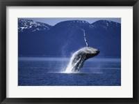 Framed Humpback Whale  Alaska  USA