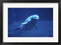 Framed Beluga Whale Underwater