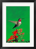 Framed Broad-Tailed hummingbird hovering over flowers, Arizona, USA