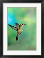 Framed Close-up of a Broad-Billed hummingbird, Arizona, USA