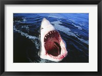 Framed Great White Shark with its mouth open