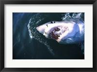 Framed Great White Shark Eating