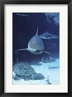 Framed Caribbean Reef Sharks