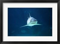 Framed Caribbean Reef Shark