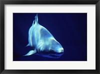 Framed Shark Great White