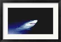 Framed Ragged-tooth Shark