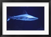 Framed Sandbar Shark Albuquerque Aquarium Albuquerque New Mexico, USA