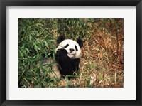 Framed Giant panda (Ailuropoda melanoleuca) resting in a forest