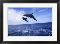 Framed Bottle-Nosed Dolphins Sailing Above the Water