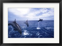 Framed Bottle-Nosed Dolphins Leaping