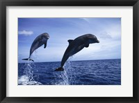 Framed Two Bottle-nosed Dolphins jumping out of the water