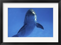 Framed Bottle Nosed Dolphin in Ocean