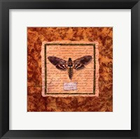 Framed Manduca Moth