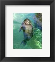 Framed Hawaiian Monk Seal