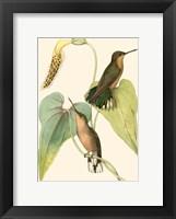 Framed Delicate Hummingbird II