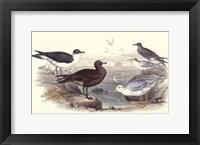 Gulls & Terns Framed Print