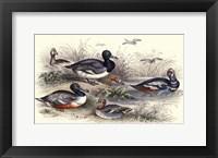Duck Varieties Framed Print