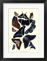 Blue Butterfly Study Framed Print