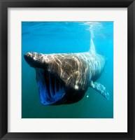 Framed Basking Shark