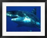 Framed Carcharodon Carcharias