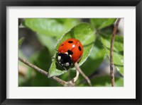 Framed Coccinellidae