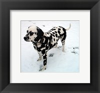 Framed Dalmatian in Snow