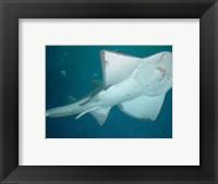 Framed Shark Overhead
