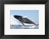 Framed Humpback Whale Jumping