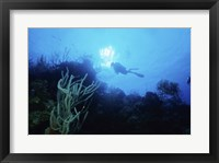 Framed Low angle view of a scuba diver swimming underwater, Belize