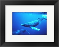Framed Humpback whales in the singing position