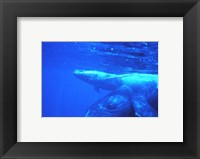Framed Humpback whale mother and calf