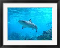 Framed Shark Underwater