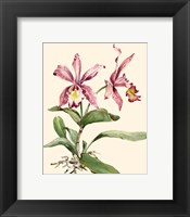 Pink Cattleya Orchid Framed Print